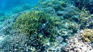 Staghorn coral- Acropora cervicornis