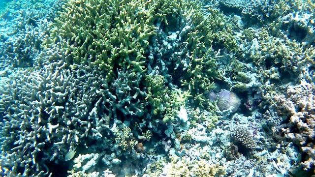 corallo di Staghorn - Staghorn coral - Acropora cervicornis