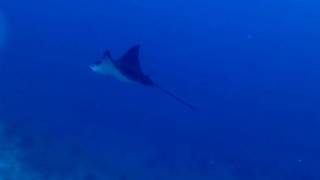 The Spotted Eagle Ray