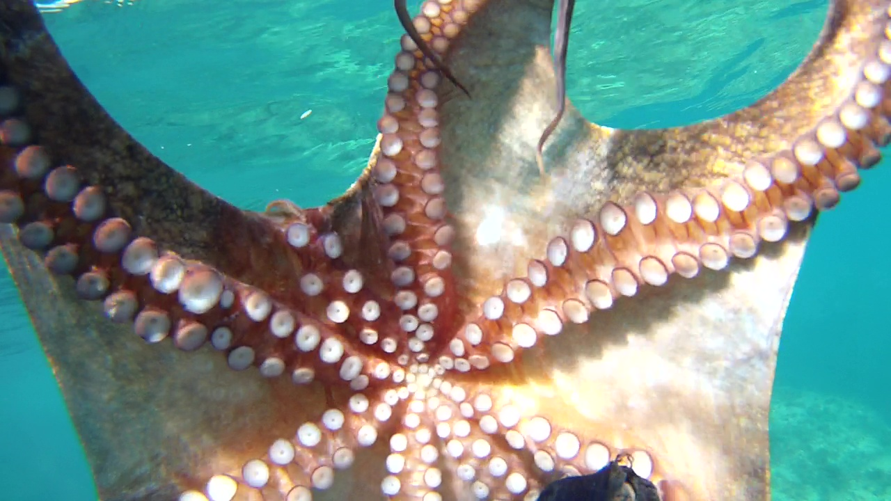 Polpo Octopus vulgaris Mar mediterraneo intotheblue.it
