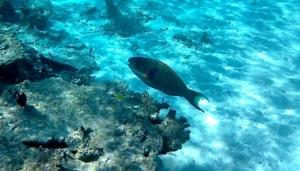 Parrotfishes - Scaridae