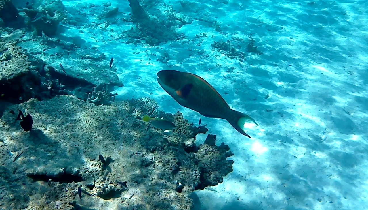 Pesce Pappagallo - Parrotfishes - intotheblue.it