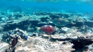 The Parrotfishes