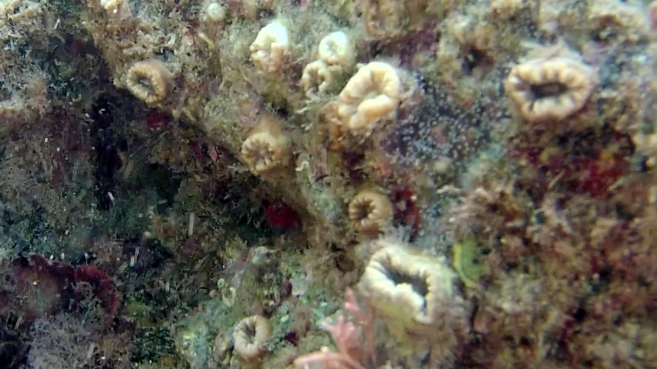 madrepora solitaria - scarlet coral - balanophyllia europea - intotheblue.it