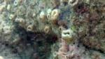 Madrepora Solitaria - Balanophyllia Europea