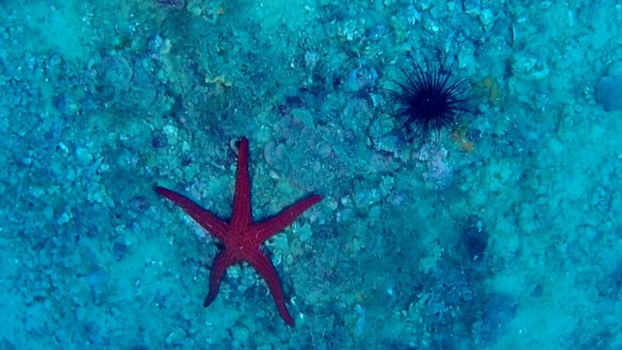 anemone cerianthus membranaceus black - intotheblue.it