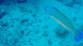 The Cuckoo Wrasse