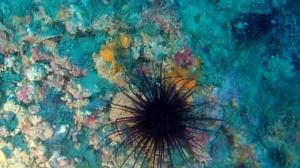 Anemone Cilindrico - Cerianthus Membranaceus