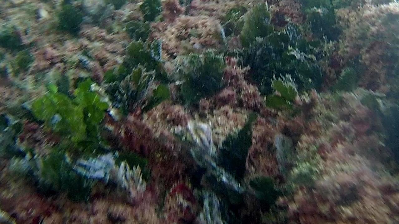 alga marina udotea - udotea green marine algae - intotheblue.it
