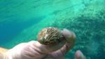 Orecchio di Venere - Aliotide - Tuberculata Lamellosa