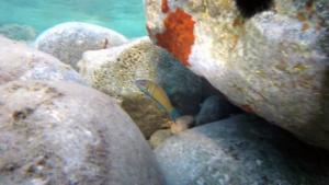 Thalassoma pavo - Donzella pavonina