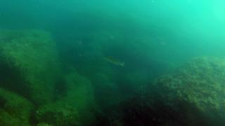 Sea Bass - Dicentrarchus labrax