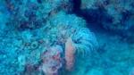 Anemone Tubolare - Cerianthus Membranaceus