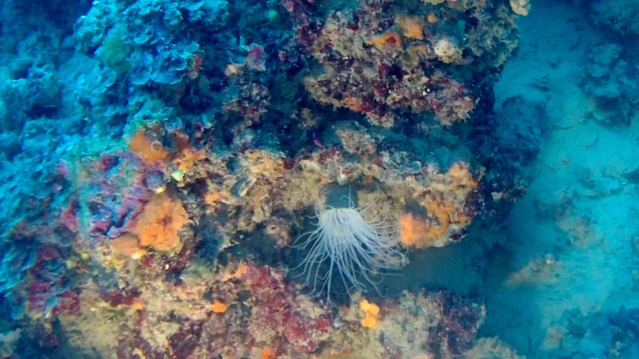 cerianthus membranaceus white - intotheblue.it - anemone tubolare colorato - coloured tube anemone