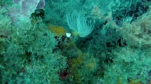 spirografo - serpulidae diantus - intotheblue.it