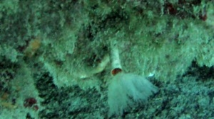 Serpulide -Hydroides Dianthus