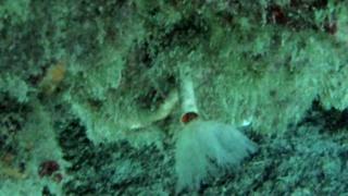 Serpulidae - Hydroides Dianthus