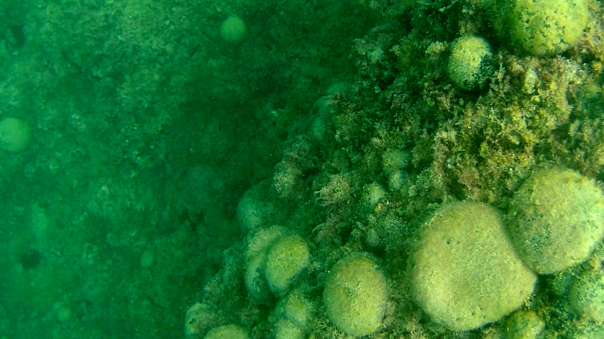 alga palla verde - seaweed green ball - codium bursa - intotheblue.it