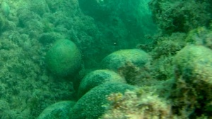 alga palla verde - seaweed green ball - codium bursa - intotheblue.it