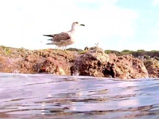 Giovane Gabbiano Reale Europeo - Young European Herring Gull - Intotheblue.it