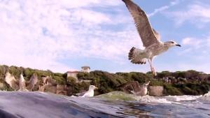 Yellow-legged gull - Larus michahellis