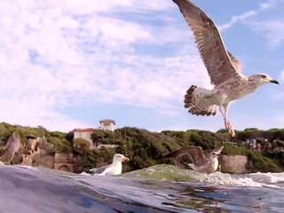 Giovani E Adulti Di Gabbiano Reale Europeo - Youngs And Adults Of European Herring Gull - Intotheblue.it