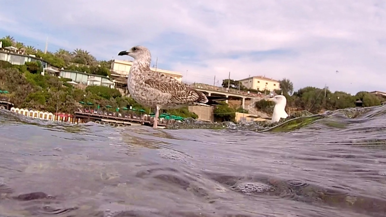 giovane e adulto di gabbiano reale europeo - young and adult of european herring gull - intotheblue.it