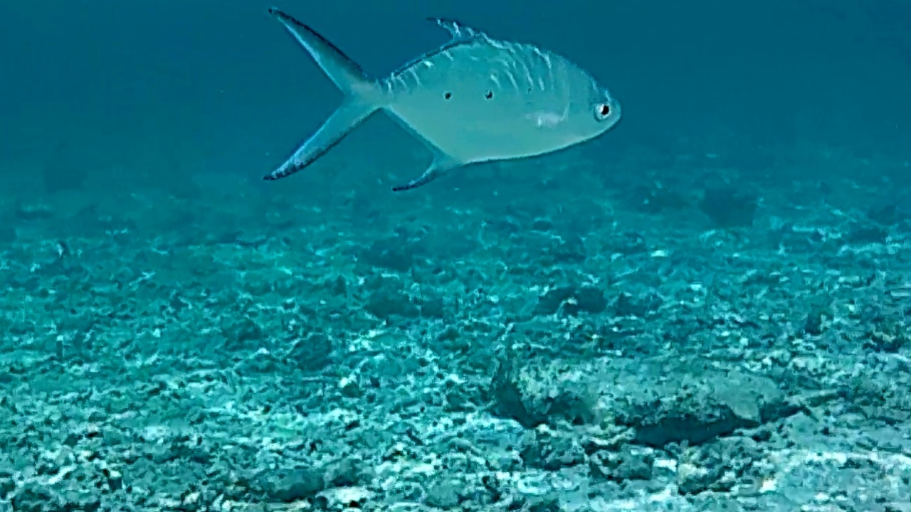 leccia stella maculata - small spotted dart - trachinotus baillonii - intotheblue.it