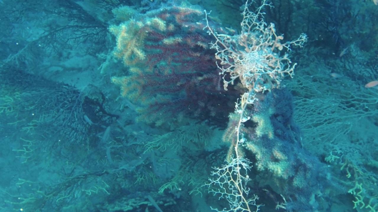 astrospartus mediterraneus su savalia savaglia - astrospartus mediterraneus on savalia savaglia - intotheblue.it