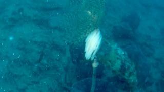 Eggs of European Squid