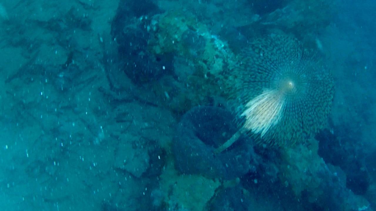 spirografo con uova calamaro - sabella spallanzanii with eggs of european squid - intotheblue.it