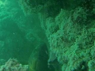 Cernia Bruna - Dusky Grouper - Epinephelus Marginatus - Intotheblue.it