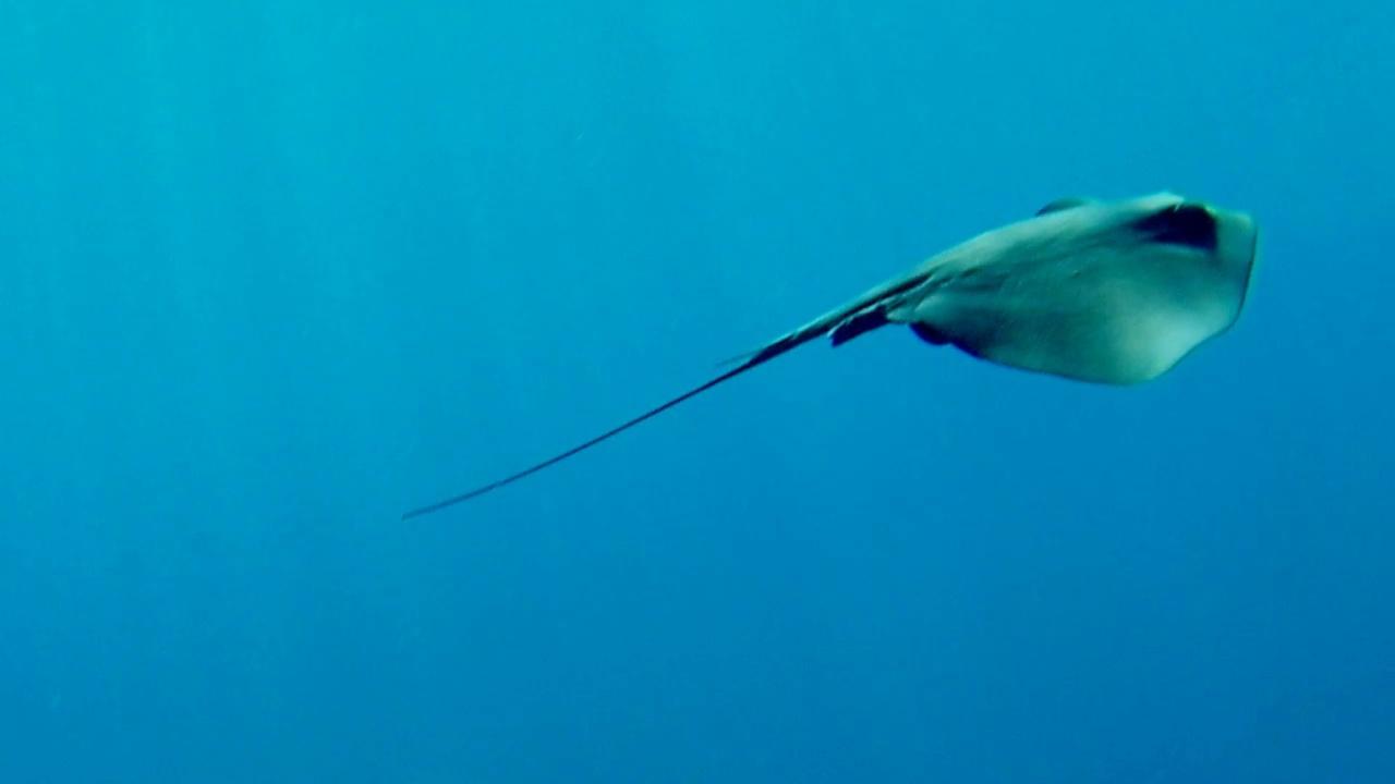 trigone viola - pteroplatytrygon violacea - pelagic stingray - intotheblue.it