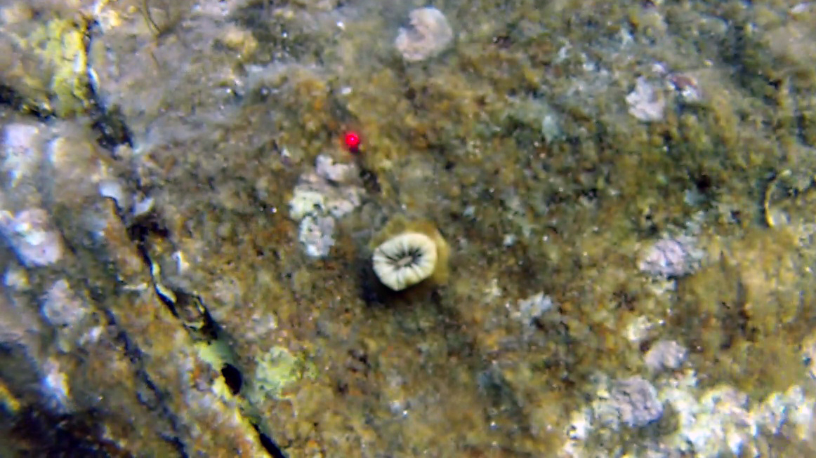 Balanophyllia europaea madrepora solitaria intotheblue.it