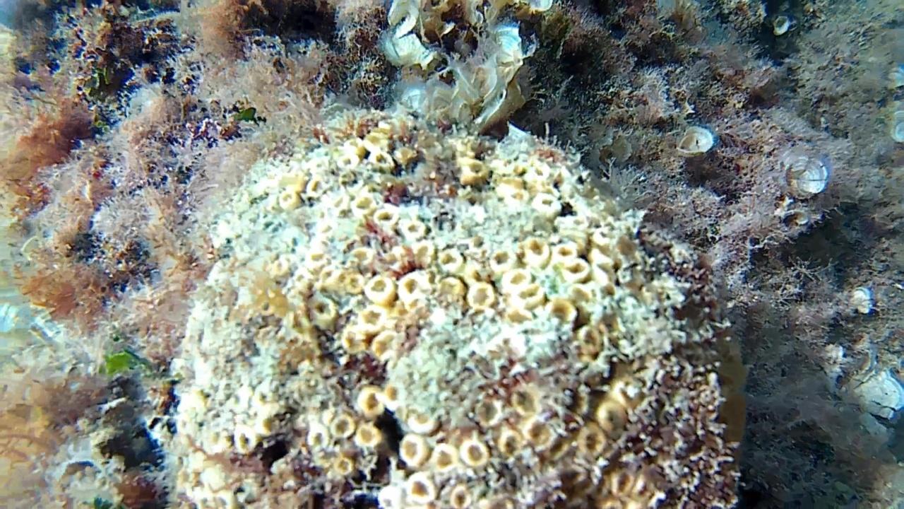 madrepora a cuscino - cladocora caespitosa - cushion coral - intotheblue.it
