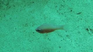 TheMediterranean Cardinalfish