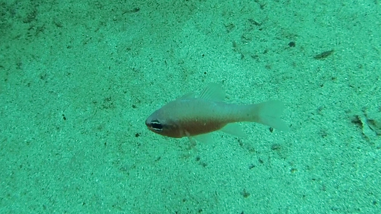 re di triglie - mediterranean cardinalfish - intotheblue.it
