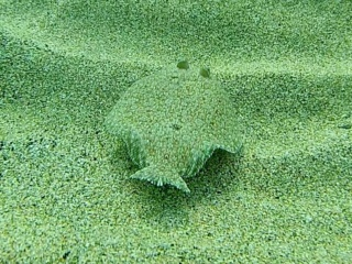 Rombo Di Rena - Bothus Podas - Wide-Eyed Flounder - Intotheblue.it