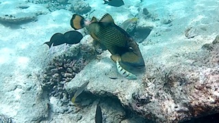 The Titan Triggerfish