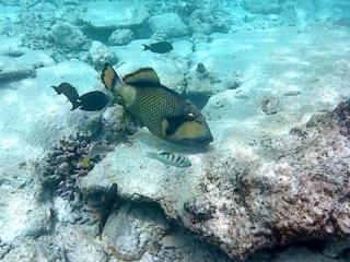 Pesce Balestra Titano - Balistoides Viridescens - Titan Triggerfish - Intptheblue.it