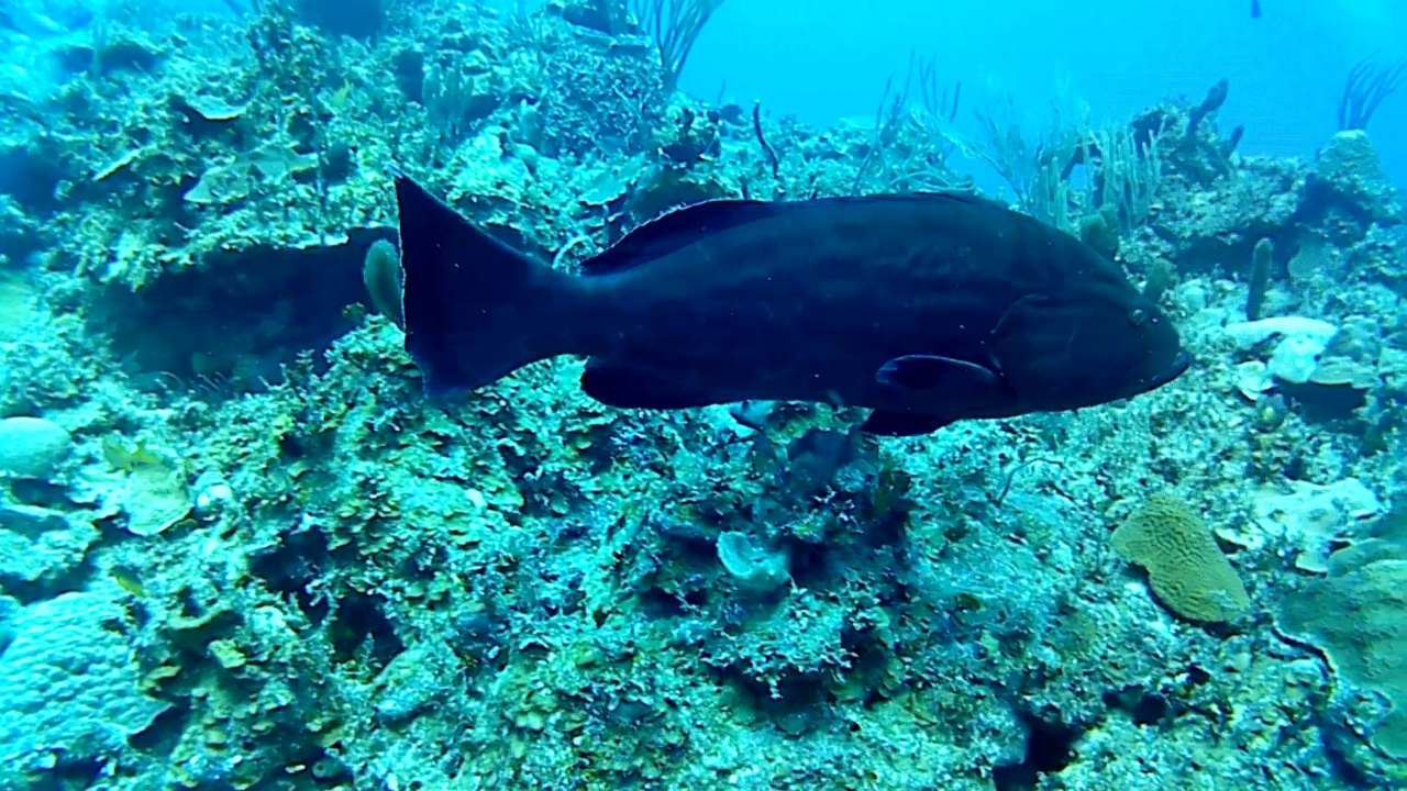 la Cernia nera - the black Grouper - intotheblue.it