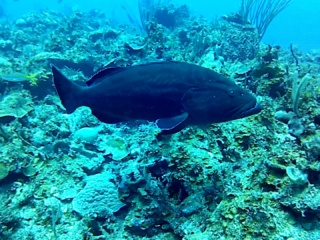 La Cernia Nera - The Black Grouper - Intotheblue.it
