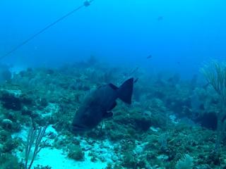 Cernia Gigante Dei Caraibi - Epinephelus Itajara - Intotheblue.it