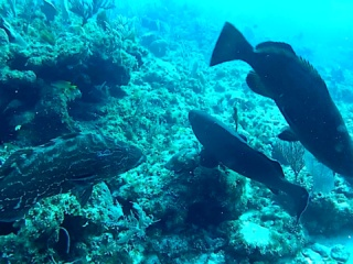 Cernie Dei Caraibi - Caraibic Groupers - Intotheblue.it