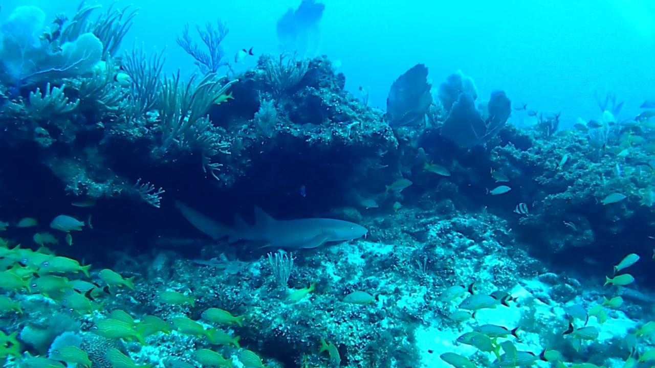 squalo nutrice - nurse shark - intotheblue.it