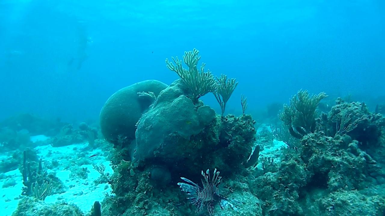 pesce scorpione - red lionfish - pterois volitans - intotheblue.it