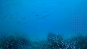Intotheblue.it Avannotti di Barracuda Sphyraena viridensis