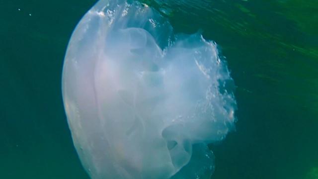 Medusa parzialmente mangiata dai pesci - Jellyfish partially eaten by fish - intotheblue.it