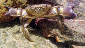 Il Granchio Favollo - The Warty Crab - Eriphia verrucosa - intotheblue.it