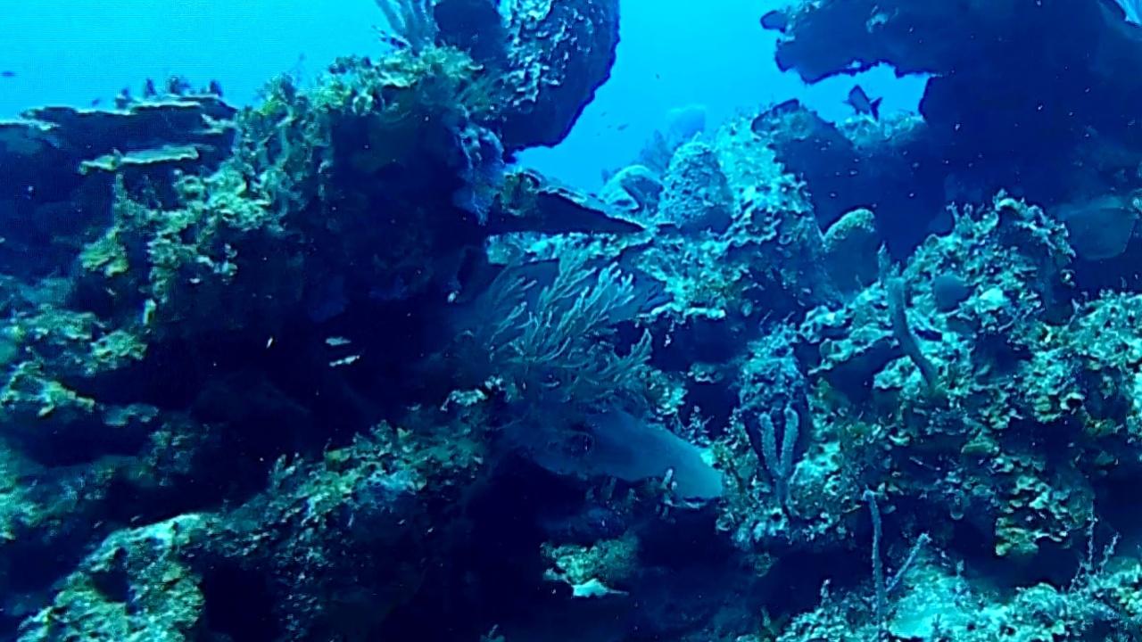 giovane Cernia Gigante atlantica - young Goliath Grouper - intotheblue.it